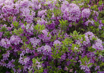 Green bush of violet flowers background