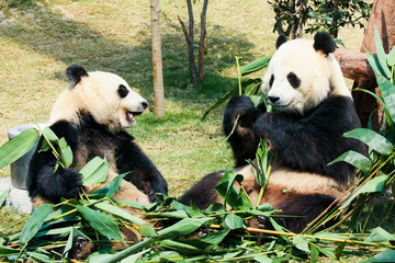 Photo sur Aluminium Panda Two pandas eating bamboo