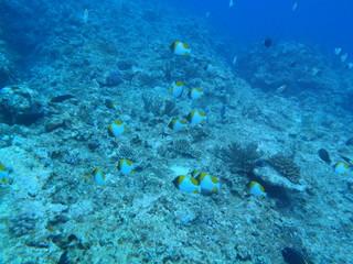魚群(カスミチョウチョウウオ)