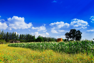Corn and flowers to the sky