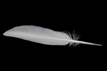 Pigeon feather