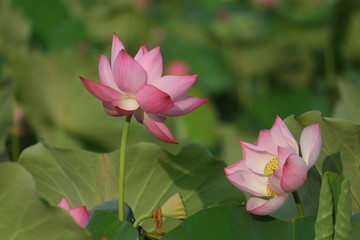 Wall Mural - Lotus flower and Lotus flower plants