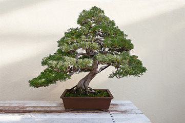 Tuinposter Bonsai Beautiful pine tree bonsai