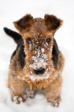 airedale terrier puppy dog sitting at snow
