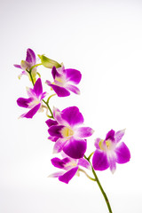 vanda orchid on white background
