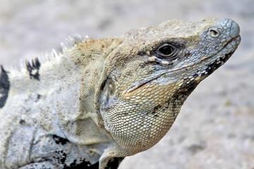 Iguana, Playa del Carmen