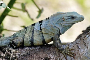 iguana at Uxmal pyramid complex