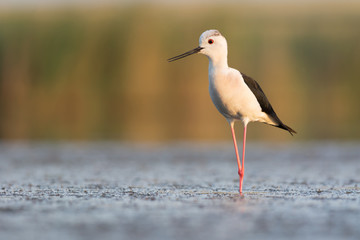Black-winged Stilt in Evening