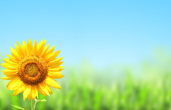 Yellow sunflower and green grass