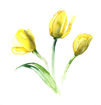 the tulip yellow watercolor isolated on the white background