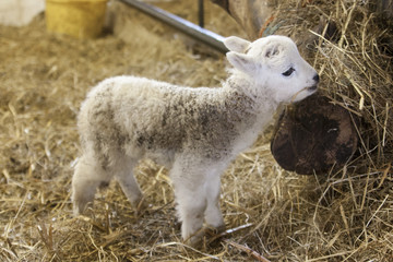 Adorable newborn lamb