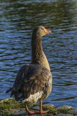 Dark Goose at Lake