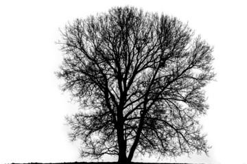 Countour of a massive tree