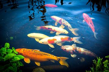 Poster Submarine Koi-Karpfen im Teich