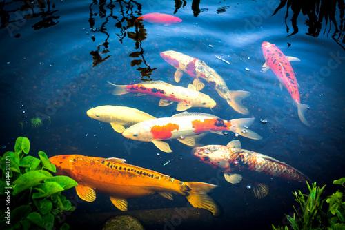 Koi karpfen im teich stockfotos und lizenzfreie bilder for Was brauchen fische im teich