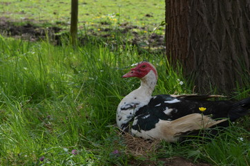 Muscovy duck sitting under a tree