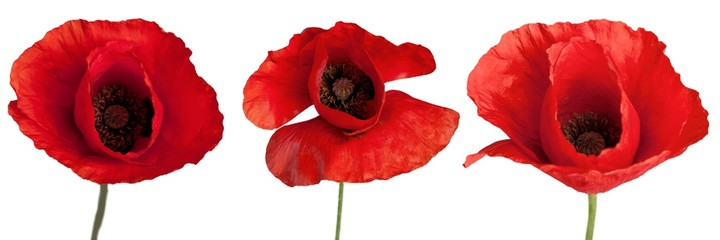 Poppy, Corn Poppy, Red.