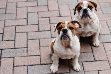 english bulldog puppies pavers copyspace