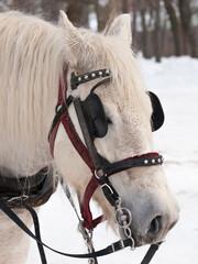 White horse ready for sleigh ride