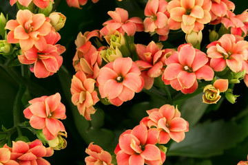 Kalanchoe flowers  background gift card retro old selective soft focus