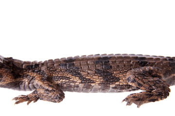 The false gharial , Tomistoma schlegelii, on white