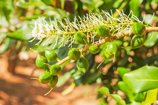 Green macadamia