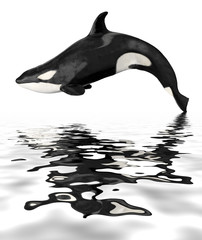 Wall Mural - Isolated killer whale with reflection