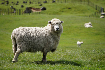 Big fluffy sheep or lamb grazing green fields of New Zealand
