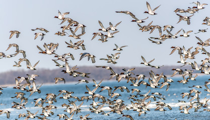 Large flock of Canvasback Ducks flying over the Chesapeake bay in Maryland