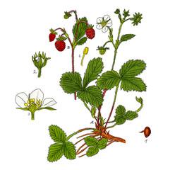 Fragaria - Erdbeere,