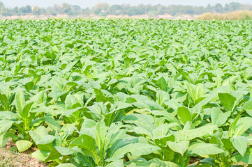 Organic  tobacco plant in rural farm land