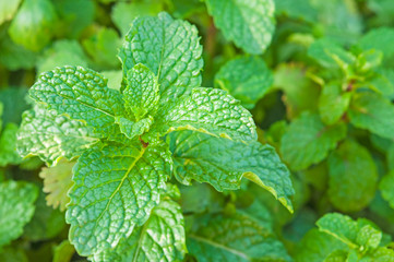 Organic pepper mint leaves in natural