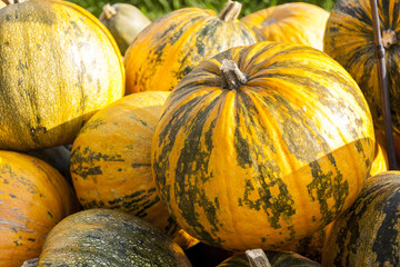 Oil Lady Godiva cucurbita pumpkin Kürbis
