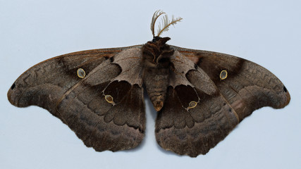 Bottom of a Antheraea polyphemus in Mississippi