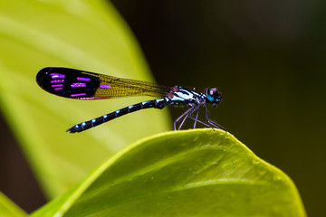 Portrait of damselfly - Common Blue Jewel (Rhinocypha perforata perforata)