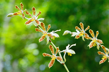Wall Mural - Staurochilus orchid