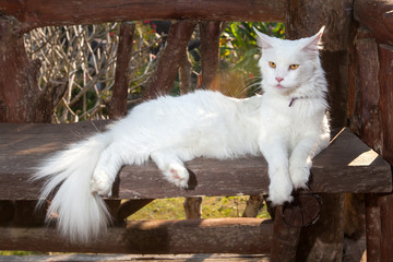 White Maine Coon Cat on the bench