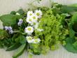 Kräuter, Frauenmantel, Gundermann, Melisse, Gänseblümchen