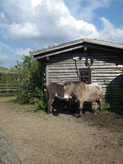 Ponys am Haus