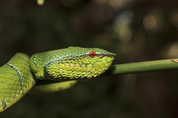 Borneo Pit Viper snake, green snake in tree