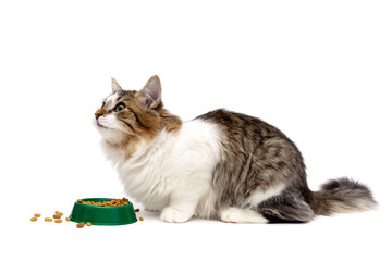 fluffy cat sits beside a bowl of food on a white background