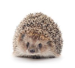 Prickly hedgehog.