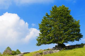 Lonely Beech Tree at Spring - Lessinia Italy