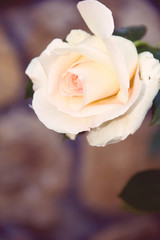 vintage rose