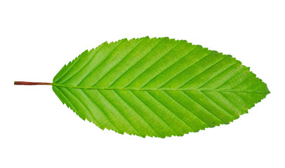 hornbeam leaf isolated on white background