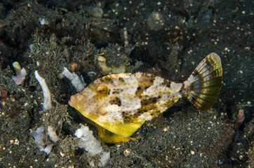 scuba diving lembeh indonesia bristle-tailed filefish