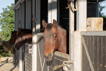 Brown horses in stable morning