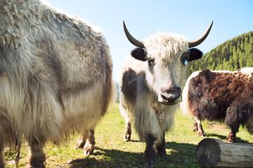Tibetan Yaks horns grazing in mountain