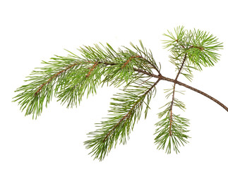 isolated on white pine tree branch