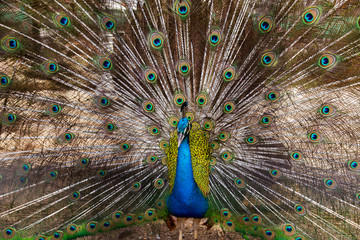 Peacock Feathers blue birds